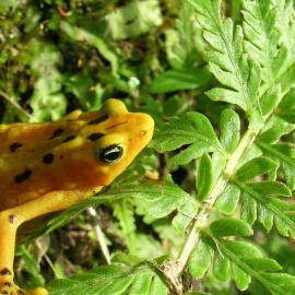 Atelopus zeteki, Panamanian Golden Frog, Ron Gagliardo, Courtesy Atlanta Botanical Garden